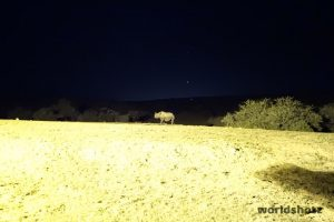 Spitzmaulnashorn bei Nacht